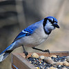 Birds : I know I like Blue Jay's. My favorite bird. I shot these photos when I was lets just say not doing real well. Had to spend a lot of time inside.